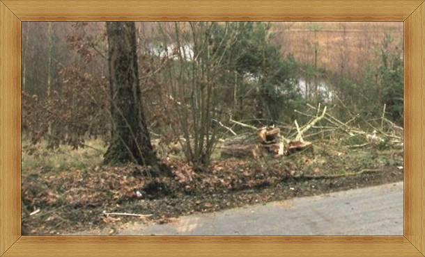Spróchniałe pnie drzew topoli przy ulicy Nad Łyną